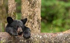 2019 Summer Black Bear Tours in Northern Minnesota with Bill Lee and Chris Norcott