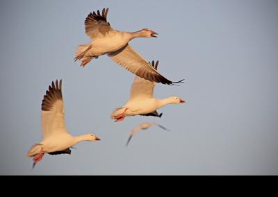 2019 bosque geese