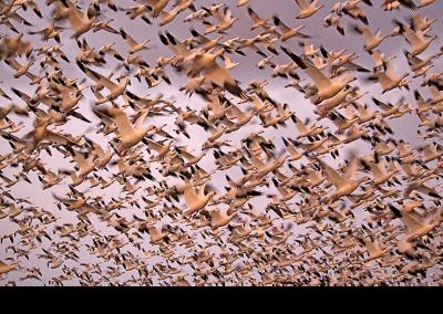2019 bosque geese blastoff